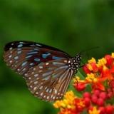 Papillon Hoàng Điệp