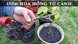 Ươm Hoa Hồng từ cành toan trinh garden