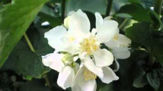 Chopin printemps valse