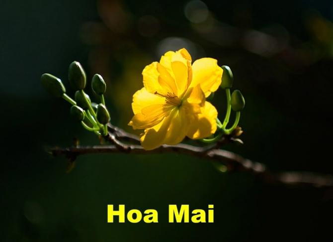 CHUYỆN VỀ HOA MAI