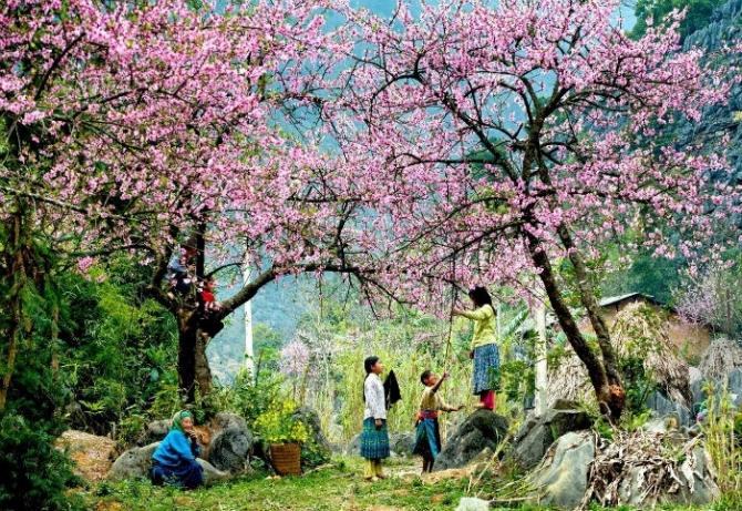 Thiên đường hoa Tây Bắc trên cao nguyên Vân Hồ