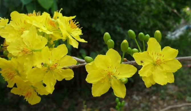 Nói về 24 loài hoa mai