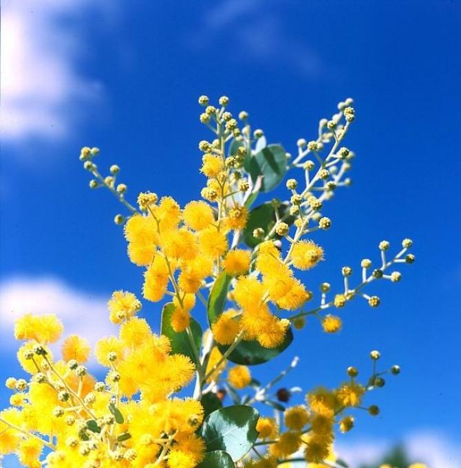 Nhà có hoa Mimosa vàng