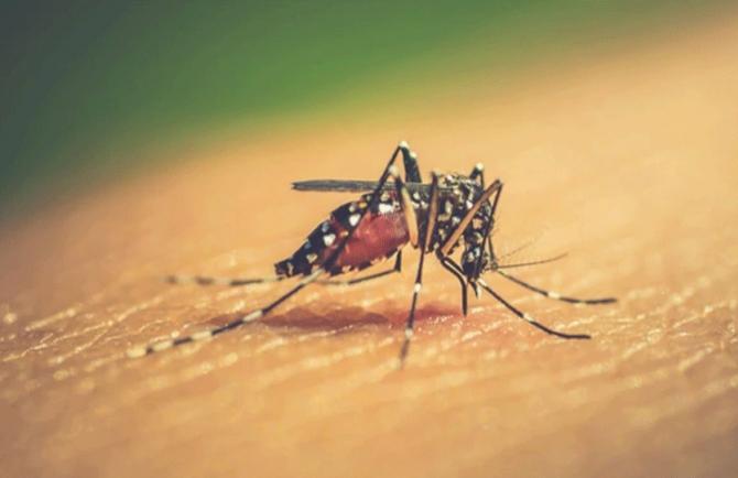 Muỗi có say sau khi hút máu người say