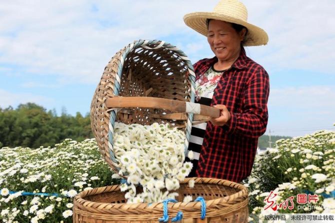 Trà hoa cúc tổng hợp