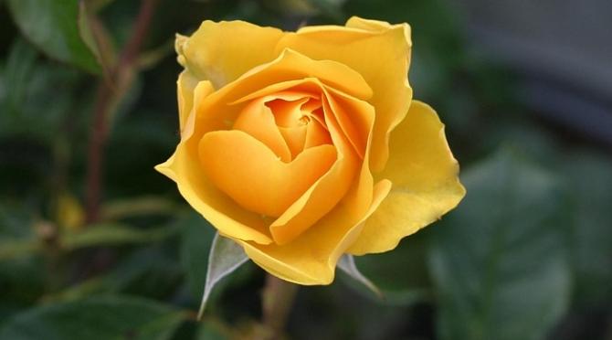 Tình bạn là niềm vui - Hoa hồng vàng – biểu tượng của tình bạn vô tư, trong sáng